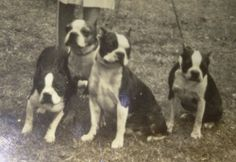 """Check out our internet site for even more details on """"boston terrier pups"""". It is actually a great location to read more. Boston Terrier Love, Boston Terriers, Boston Pictures, Pet Pictures, Bull Terrier Dog, Vintage Dog, Dog Photos, Dog Life, Portrait"""