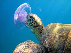 magicalnaturetour:    ya.iriska18 - Gourmet ~ Please don't eat the jellyfish ;)