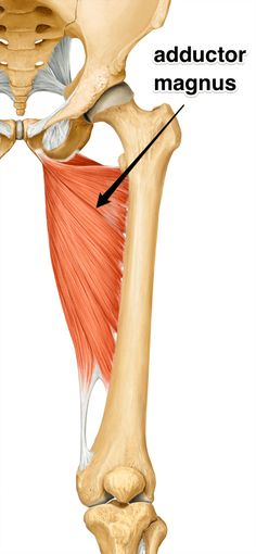 The Adductor Magnus - Muscle of The Month Hip Anatomy, Muscle Anatomy, Anatomy Study, Anatomy Reference, Remedial Massage, Psoas Release, Human Anatomy Drawing, Hip Problems, Musculoskeletal System