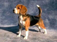 I'd have a beagle