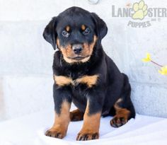 #Rottweiler #Charming #PinterestPuppies #PuppiesOfPinterest #Puppy #Puppies #Pups #Pup #Funloving #Sweet #PuppyLove #Cute #Cuddly #Adorable #ForTheLoveOfADog #MansBestFriend #Animals #Dog #Pet #Pets #ChildrenFriendly #PuppyandChildren #ChildandPuppy #LancasterPuppies www.LancasterPuppies.com Lancaster Puppies, Rottweiler Puppies, Fun Loving, Puppies For Sale, Mans Best Friend, Puppy Love, Harry Potter, Pets, Animals
