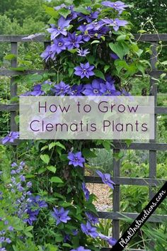 How to Grow Clematis in Your Garden – Plant Instructions Climbing Flowers Trellis, Climbing Clematis, Clematis Trellis, Clematis Plants, Vine Trellis, Purple Clematis, Clematis Flower, Flower Trellis, Trellis Ideas