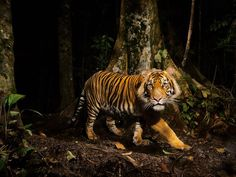 A tiger peers at a camera trap it triggered while hunting in the early morning in the forests of northern Sumatra, Indonesia. Tigers can thrive in many habitats, from the frigid Himalaya to tropical mangrove swamps in India and Bangladesh