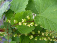 Immature berries of Whitecurrant 'White Versailles', May 2015