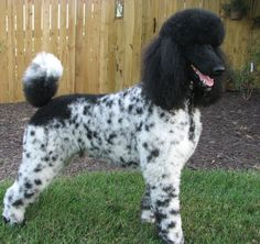 This is just like our Mimi! A Poodle/Dalmatian mix!Only we don't get her that stupid looking haircut! Poodle Mix Breeds, Poodle Grooming, Pet Breeds, Grooming Dogs, Extreme Pets, Phantom Poodle, Dalmatian Mix, Animals Beautiful, Cute Animals