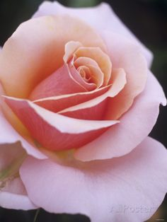 Hybrid Tea Rose, Sweet Lady Photographic Print at AllPosters.com