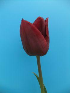 Tulip 'Ronaldo'