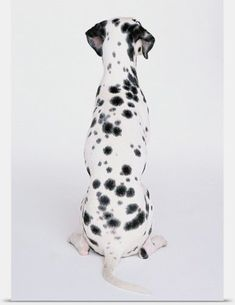 Dalmatiner Welpe Soft Spots Ladys Shirt