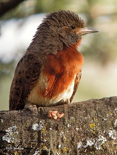 RED-THROATED WRYNECK - Jynx ruficollis . . . Also Rufous-Necked Wryneck…