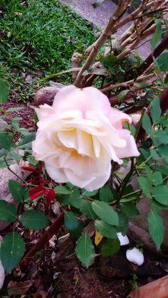 Outra rosa pequena.