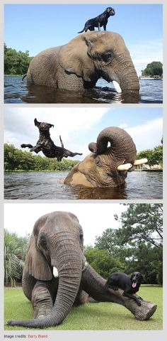 Bubbles the African Elephant and Bella the Black Labrador | #friends #animals #love | Unusual Animal Friendships That Will Melt Your Heart by http://www.boredpanda.com/unusual-animal-friendships-interspecies/