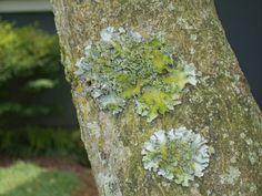 Lichens on Japanese Maple Bark