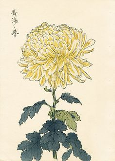 Chrysanthemum Flowers by Keika Hasegawa Chrysanthemum Drawing, Japanese Chrysanthemum, Chrysanthemum Flower, Botanical Illustration, Botanical Prints, Japanese Painting, Chinese Painting, Japanese Prints, Japan Art
