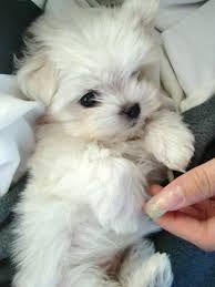 「cute maltese puppy」の画像検索結果