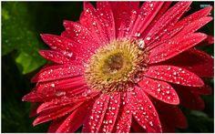 Red Gerbera Flower Wallpaper | red gerbera daisy wallpaper
