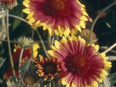 The blanket flower 'Dazzler' is a large daisy-like flower that can  grow up to 6 inches in diameter. It has a domed orange-red center and  bright orange-red petals with yellow tips.