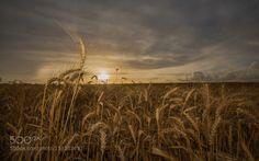 harvest season by Isamtelhami