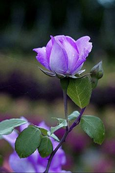 Purple Roses, Beautiful Flowers, Garden, Nature, Plants, Painting, Roses, Crystals, Backgrounds