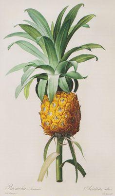 Google Image Result for http://1.bp.blogspot.com/_lz61lV8GpFQ/TEQ9AWNJubI/AAAAAAAAAz0/jIsgXvLlLRA/s1600/pineapple.jpg
