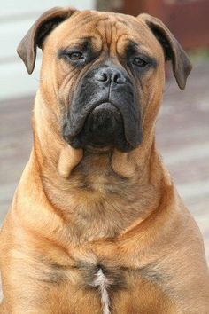 Bullmastiff #Dogs #Puppy #Mastiffs