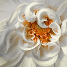 Beautiful white and gold flower edited to link back to original photographer