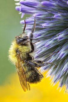 bee on thisle