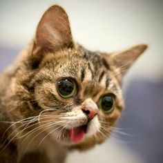 lil bub - Yahoo Image Search Results