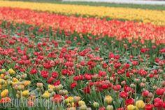 Skagit Valley Tulip Festival 2012 + How to Grow Tulips