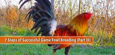 This is a continuation of our weekend series discussing the basic concepts and considerations in breeding game fowls. Game Fowl, Rooster, Success, Games, Gaming, Plays, Game, Toys, Chicken