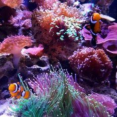 The always amazing @nano_karen!  #polyplab . . #coral #reeftank #coralreeftank #reef #reefpack #reef2reef #reefcandy #reefersdaily #reefrEVOLution #coralreef #coraladdict #reefaholiks #reefjunkie #reeflife #instareef  #allmymoneygoestocoral #instareef  #reefpackworldwide #ilovemyreef #rarecorals #reefing #exoticcorals #reefporn #reeferdise #reefers4reefers #coralporn #aquarium #polyplab