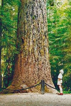 See the Cathedral Grove Old Growth Forest - Qualicum, Vancouver Island Great Places, Places To Go, Old Trees, Seven Wonders, Come And See, Vancouver Island, Island Life, British Columbia, The Good Place