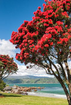 Wellington Scorching Bay, New Zealand The Beautiful Country, Beautiful Places, Christmas History, New Zealand Landscape, Visit New Zealand, Nz Art, Japanese Koi, Boat Painting, Red Tree