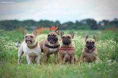 Französische Bulldoggen / French Bulldogs