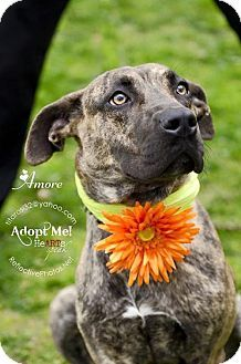 NYC, NY - Shepherd (Unknown Type) Mix. Meet AMORE, a dog for adoption. http://www.adoptapet.com/pet/16716111-nyc-new-york-shepherd-unknown-type-mix