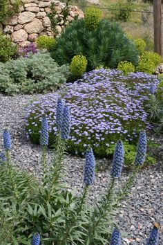 Euphorbia characias, Echium candicans, Felicia amelloides (?) Mediterranean dry gravel garden - Greece