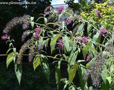 Buddleja davidii, nativa de China, produce una abundante y perfumada floración en verano y otoño