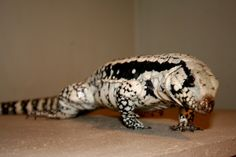 i really want a Blue Tegu i have 4 different breeds of tegu but i want a blue one there soo cute