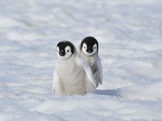 Two cute baby Emperor Penguins Cute Little Animals, Cute Funny Animals, Cute Dogs, Penguin Pictures, Cute Animal Pictures, Cute Penguins, Tier Fotos, Pet Birds, Animals Beautiful