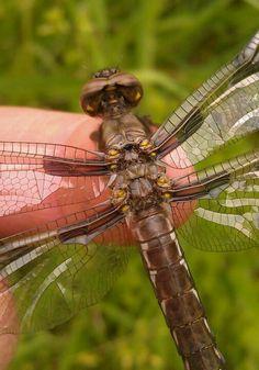 Dragonfly vortex