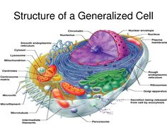 38 best human cell images on pinterest cell biology ap biology cells are the fundamental units of life how do we define a cell and how do they work understanding cells are the key to answering questions such as these ccuart Choice Image