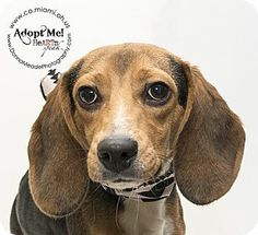 URGENT!  I am at a kill shelter in Troy, OH - Beagle. Meet Carter a Dog for Adoption.
