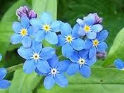 Cheap myosotis sylvatica, Buy Quality garden flowers seeds directly from China flower seeds Suppliers: Buy 2 Get accumulate ) 1 Pack 50 pcs Myosotis Sylvatica China's Garden Flower seeds Bog Garden, Garden Plants, Garden Grass, Flowering Plants, Troubles Bipolaires, China Garden, Invasive Plants, Herbaceous Perennials, Perennial Plant