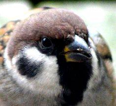 Eurasian tree sparrow (Passer montanus)