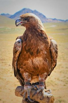 Hunting eagle in Mongolia. Hunting with eagles is a traditional form of falconry found throughout the Eurasian steppe. There are an estimated 250 eagle hunters in the Western Mongolian province.