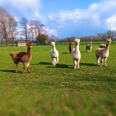 Alpaca's in Twente #procamapp #dailyhike #losser