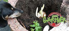 JuniorGärtner - Wann pflanzt man Blumenzwiebeln? › Sperli
