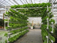 Hydroponic gardening or hydroponics is the science of growing plants using only nutrient-rich liquid as a soil replacement. Learn about hydroponics here. Aquaponics System, Aquaponics Plants, Hydroponic Gardening, Growing Plants, Growing Vegetables, Agriculture Verticale, Aquaponique Diy, Greenhouse Farming, Greenhouse Plants