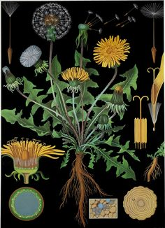 Paardenbloem (Taraxacum officinale). Botanical Chart by Jung, Koch Quentell, 1891…