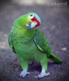 Red Lored Amazon