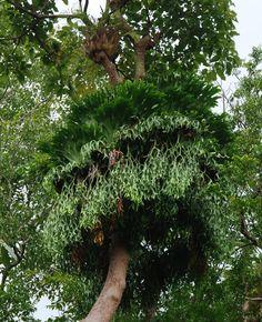 Platycerium coronarium, Chantaburi, Thailand Ferns Garden, Moss Garden, Water Garden, Tropical Garden, Tropical Plants, Cactus Plants, Rare Plants, Exotic Plants, Platycerium